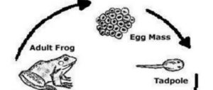 PTE高频DI – 青蛙产子 满分答案解析